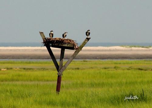nature wildlife osprey newjerseywildlife opspreyinnest