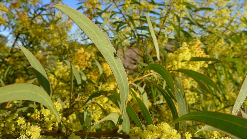 Acacia Rubida Leaf Red Stemmed Wattle Acacia Rubida Leaf Flickr