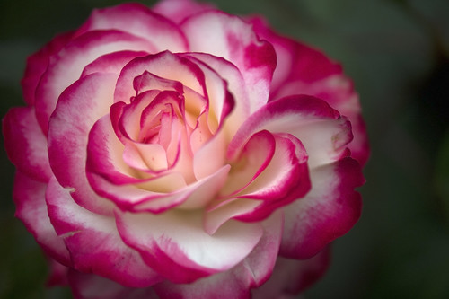 Rose   by alcides OTA