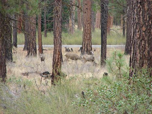 Deer near the Lower Black Butte Trailhead