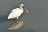 Reflection - Black-faced spoonbill by Okinawa Nature Photography