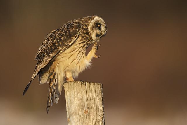 Chin Scratching Short-eared Owl