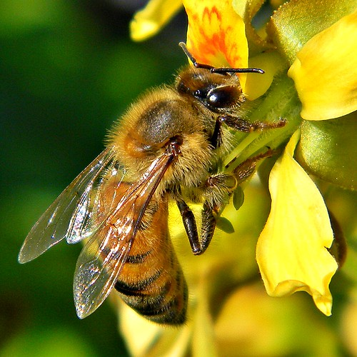 Honey Bee & Gray Nickerbean | by bob in swamp