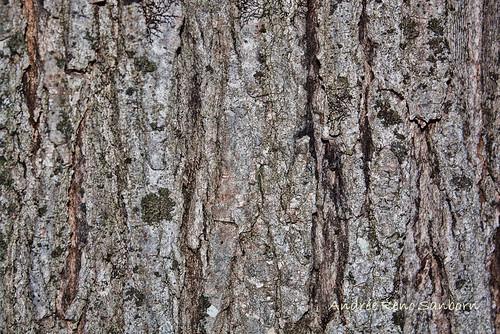 vermont unitedstates barton acersaccharum sugarmapletree