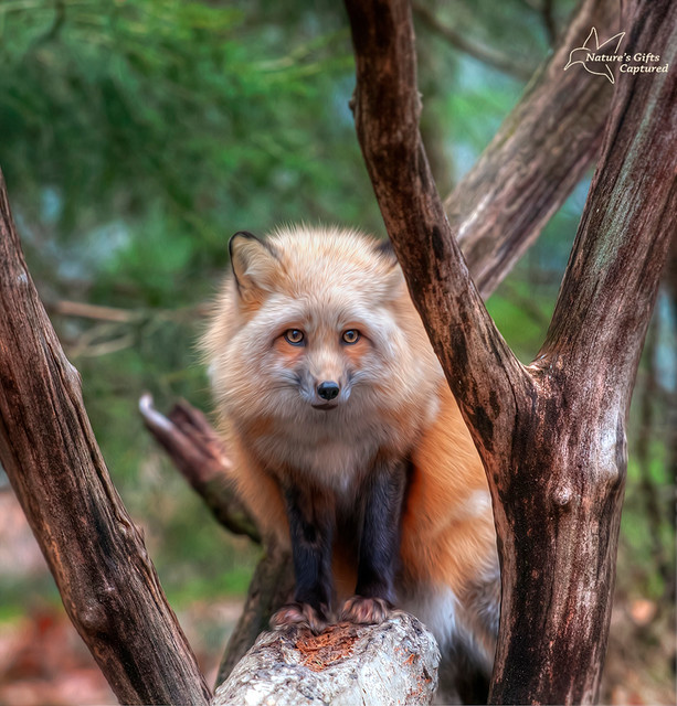 Fox in the Tree - (Lakota)