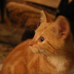 Orange cat facing left