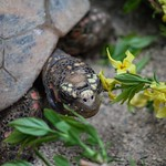 Red-Footed Tortoise