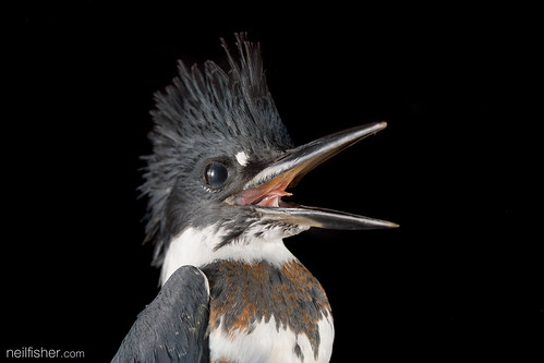 Belted Kingfisher (Megaceryle alcyon) | by neil.fisher