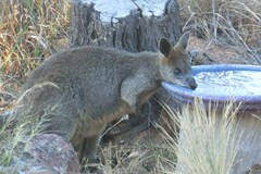 Black wallaby