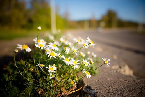 Roadside Flowers | by Kurayba