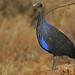 Vulturine Guineafowl - Photo (c) Steve Garvie, some rights reserved (CC BY-NC-SA)