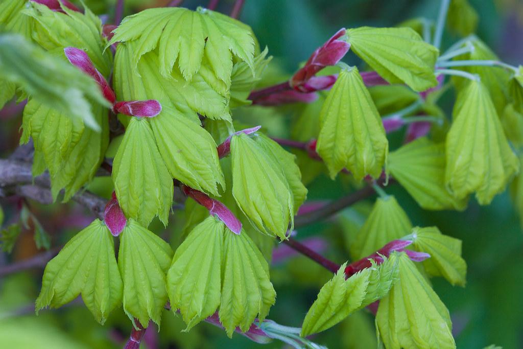 Expanding New Leaves Acer Shirasawanum Aureum Golden L Flickr