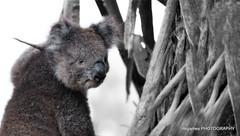 Koala-port-franklin-007