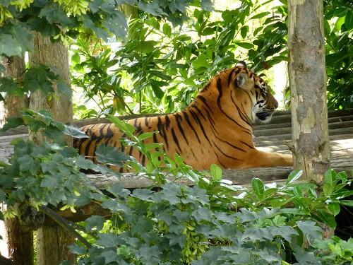 Tiger! Roar! (06/07/2014)