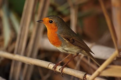 Robin | by A Gatt Floridia