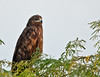 Greater Spotted Eagle #92 by Ramakrishnan R - my experiments with light