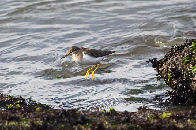 Spotted sandpiper doing something weird