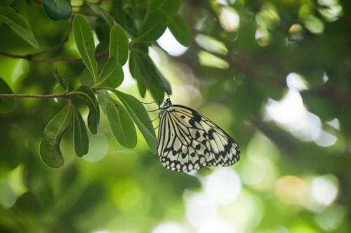 鹿児島県 旅行 蝶 日食 オオゴマダラ 皆既日食 喜界島