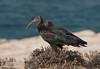 Eremitibis  /Northern Bald Ibis - (Geronticus eremite) by Hans Olofsson