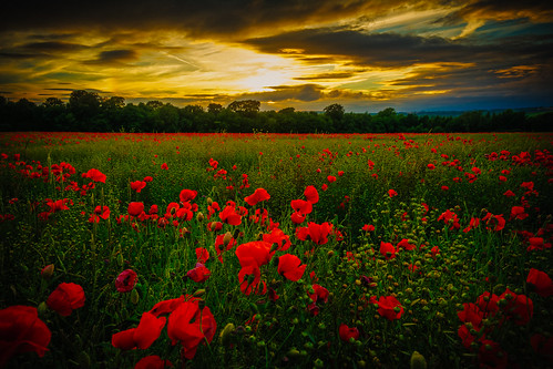 british hill flower goldenhour red delightful footpath poppy landscape plant farming nature wild woodland clear english field light beautiful summer countryside beauty view hillside colourful plants sundown vivid blooming sky d7100 trees flowers down tree cloud colour green horizon nikon wildlife bigsky blue lightroom yellow clouds farm sunset golden fields walking exposure sunshine delicate abstract cotswolds detail dxo shadow poppies