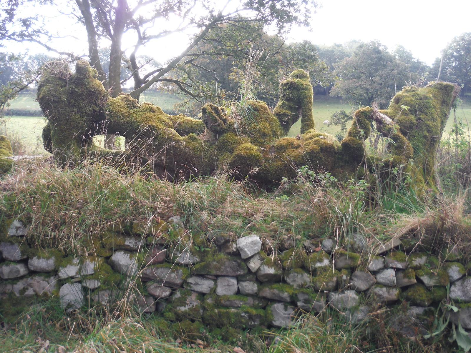 Mossy Treestump and Drystone Wall SWC Walk 280 Henrhyd Falls - Sgwd Henrhyd (Craig y Nos Circular)