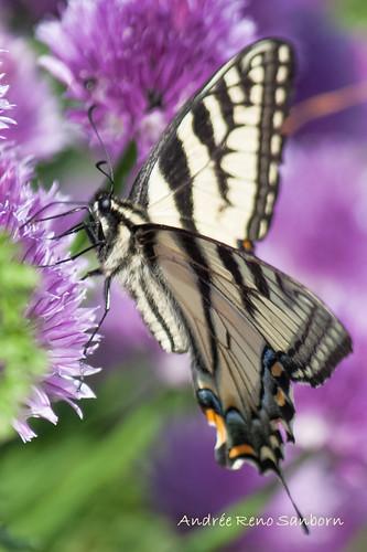 canadiantigerswallowtail papilioglaucuscanadensis