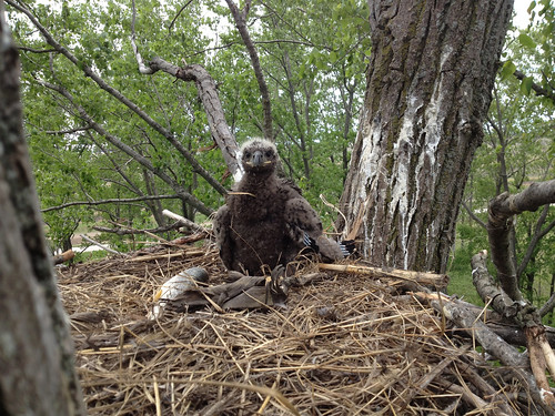 Bald eagle in nest, May 2013 Photo By USFWS Jeremy N. Moore   by U.S. Fish and Wildlife Service - Midwest Region