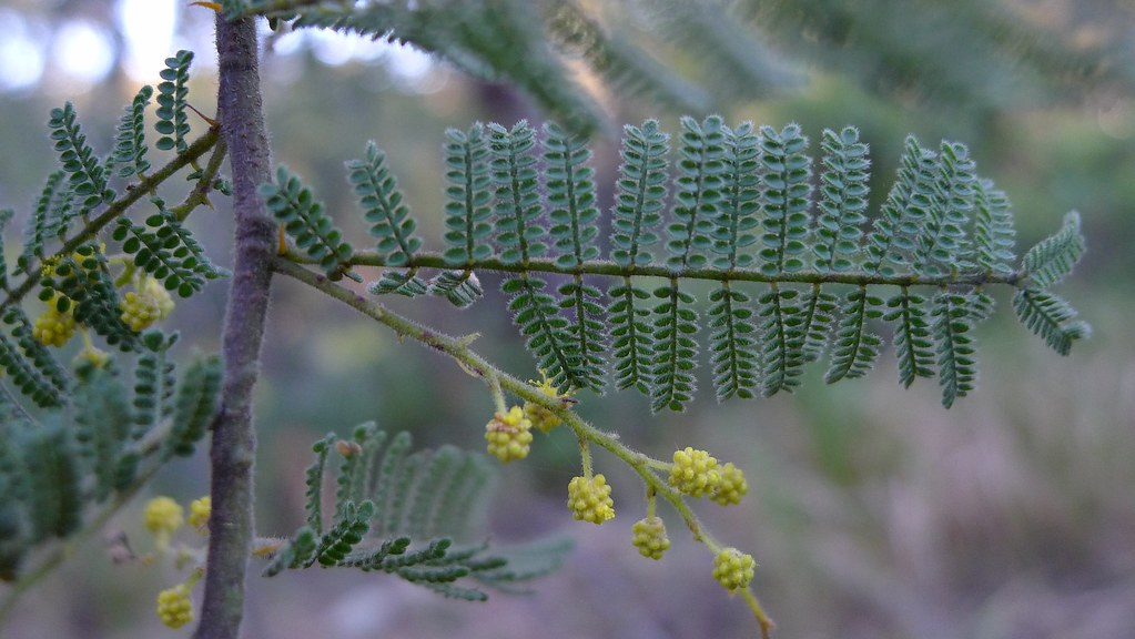mystery acacia leaves