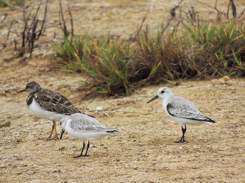 Sanderlings & Ruddy Turnstone | by Anita363
