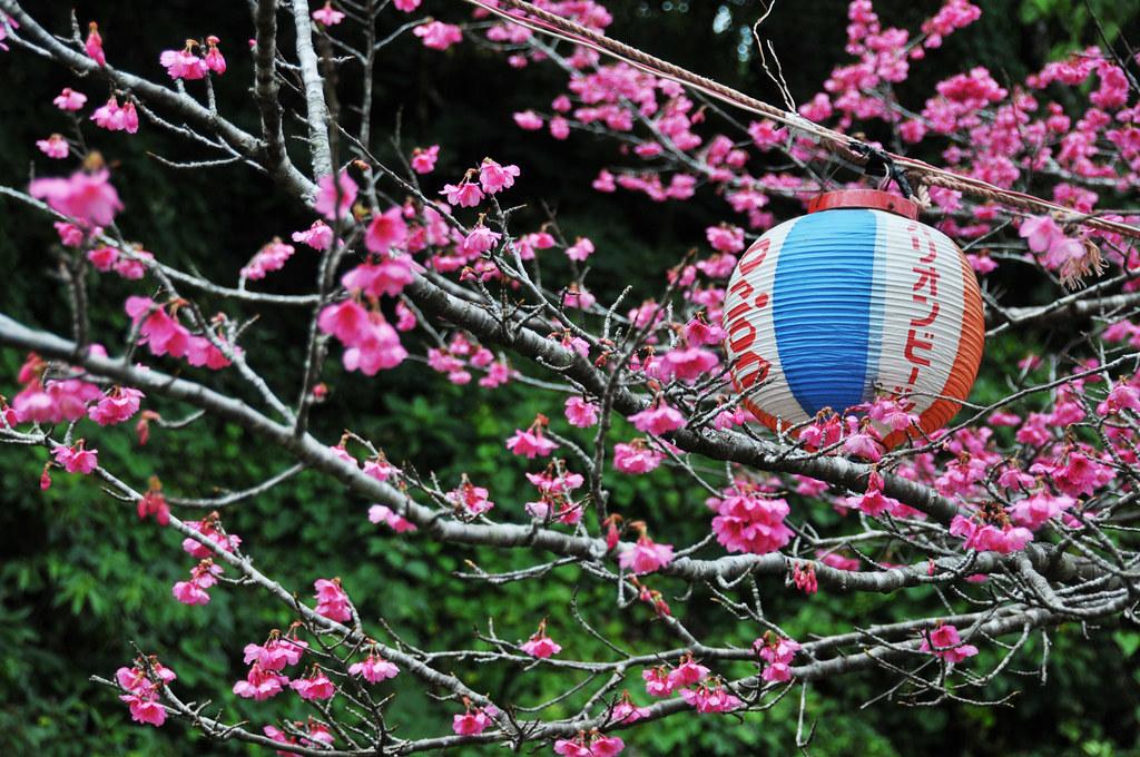 Sakura...櫻花
