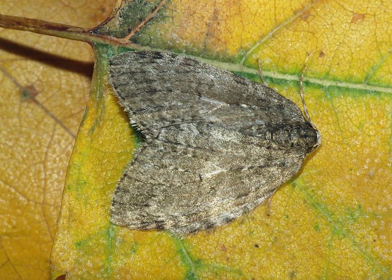 1795x November Moth - Epirrita dilutata agg.