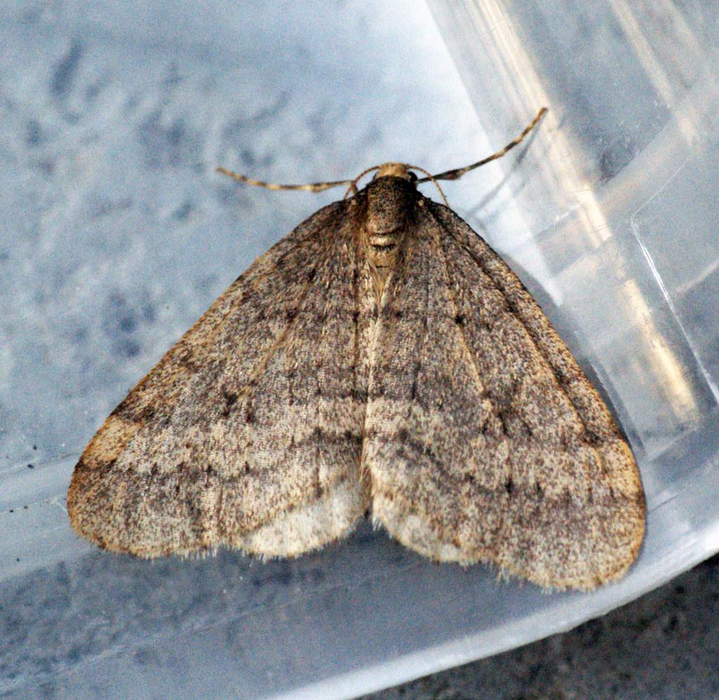 [1799] Winter Moth (Operophtera brumata)