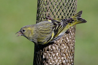 Miss Siskin | by Simon Corble