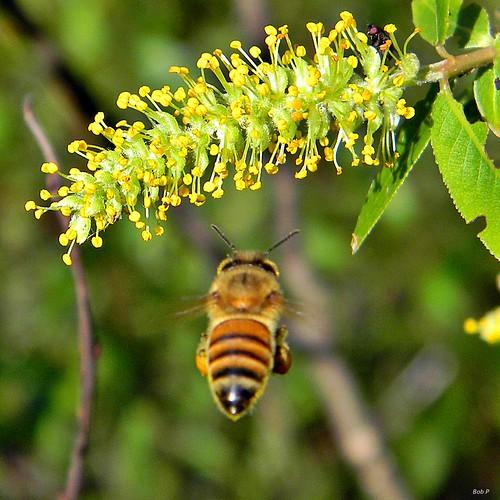 spring nikon florida bees bee willow honey coolpix catkin palmbeachcounty pollination pollinator apismellifera salixcaroliniana taxonomy:binomial=apismellifera frenchmansforestnaturalarea