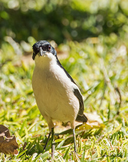 Bubu - Tropical Boubou (Laniarius major) | by Søren Vinding