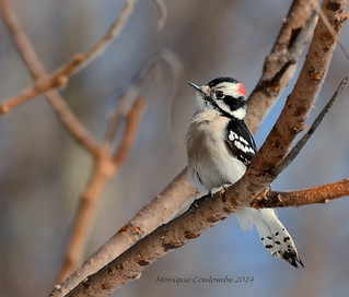 Pic mineur mâle - Downy Woodpecker male | by Monique Coulombe