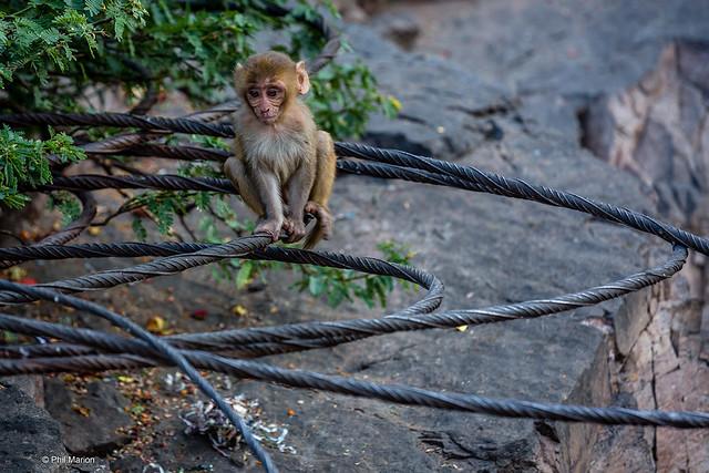 Baby monkey balancing on elevated metal wires - Galtaji Temple in Jaipur, India