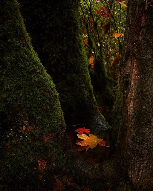 Leafy pool #oregon #multnomahfalls #pacificnorthwest #moss #fall #autumn #photography #nature #tree #roots #leaves #leaf
