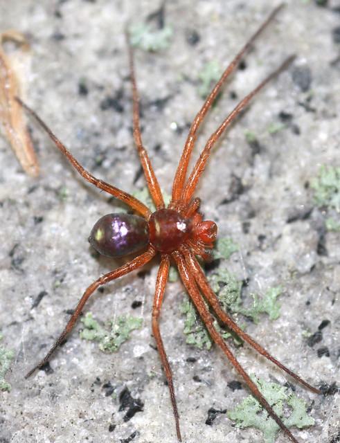 Metallic Crab Spider