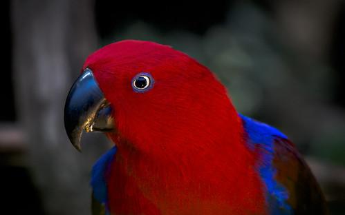 Eclectus Parrot (Female)