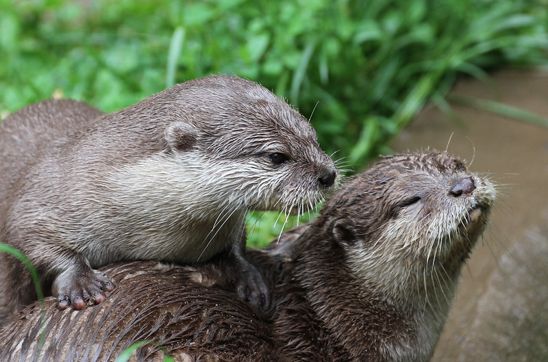 Otters 8