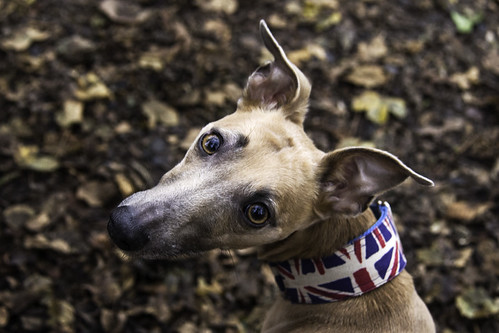 A Patriotic Whippet