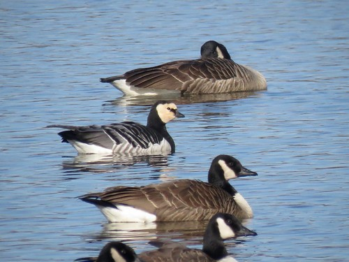 Barnacle Goose | by Justin Lee (NoNameKey)