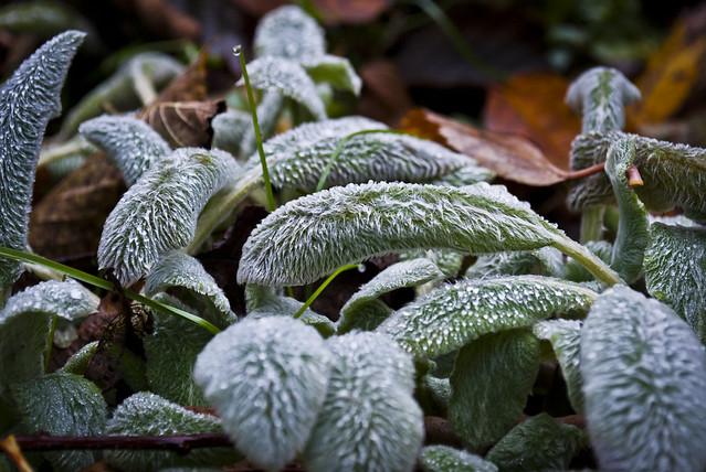 Frozen Sage