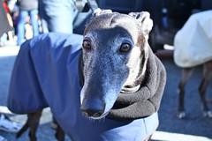 Greyhound Adventures at Spy Pond, Arlington MA, January 12th 2014