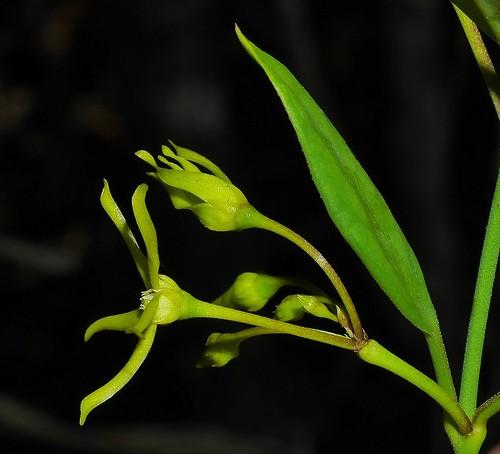 Mangrove milk Vine Cynanchum carnosum Wilsons Beach P1020134