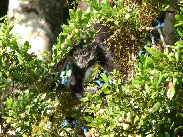 Mono araña en la selva