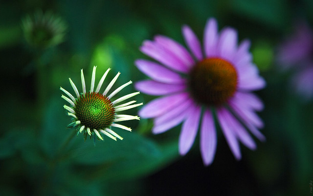 RUS50048(One less but closer. Echinacea)