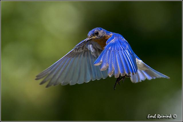 Eastern Bluebird (130710-1507)