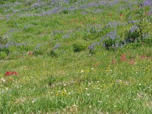 Wildflowers in Mt. Hood Meadows